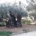 Jérusalem - Getshémanie